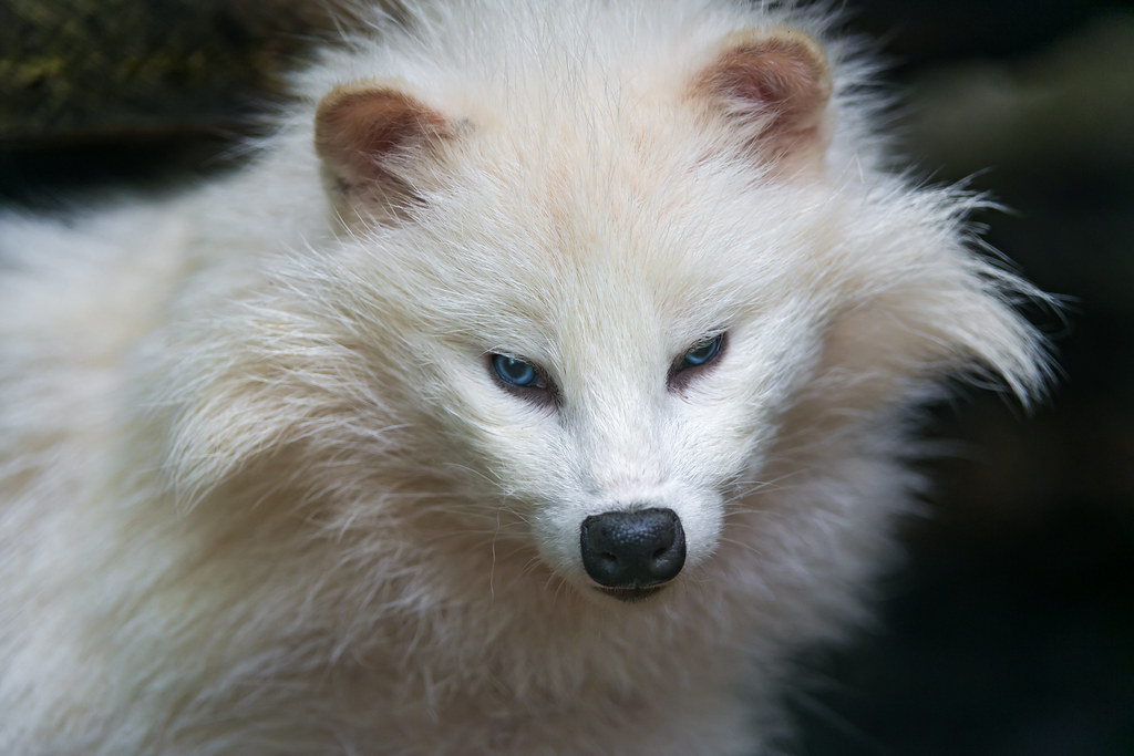 Mobile Cute Wallpapers Hd 3d Cute White Raccoon Dog Another Portrait Of One Of The