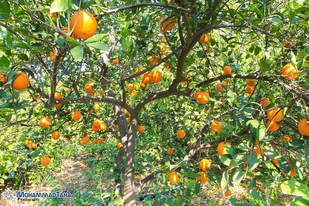3d Wallpaper Of Deer Orange Tree In Jordan Valley A Farm In Al Shouna Al