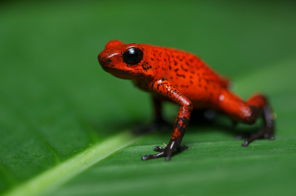 3d Frog Wallpaper Red Poison Dart Frog Oophaga Pumilio 7 Found During