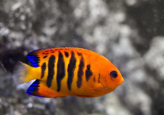 Flame Angelfish Fish orange black stripes blue Virginia Living Museum