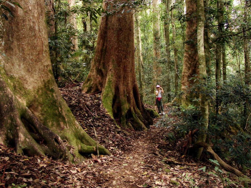 Camera Girl Wallpaper Walk In The Giant Trees Forest Brush Box Trees