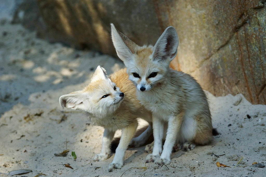 Cute Star Wars Wallpaper Fennec Foxes The Mean Look On That Little Face On The