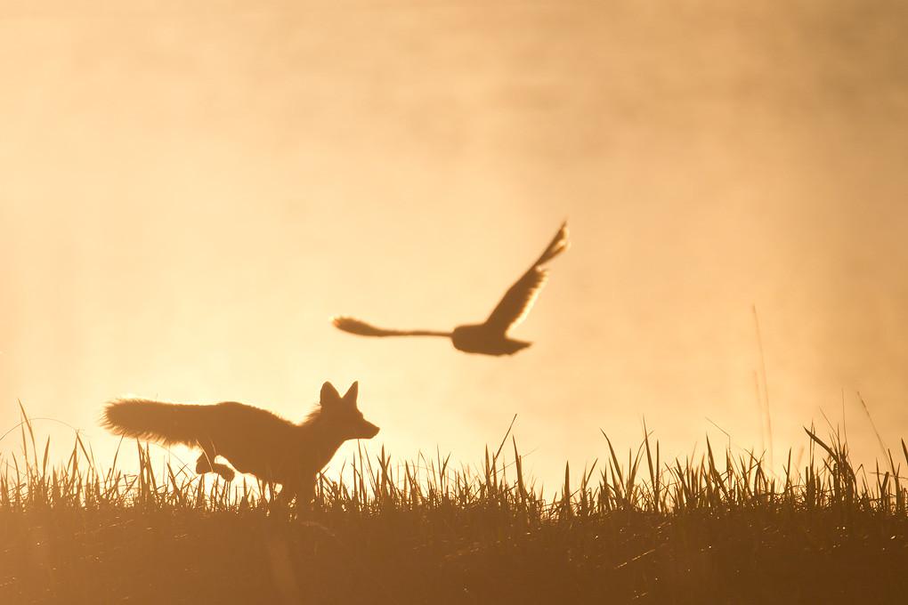Free 3d Wallpaper Backgrounds Red Fox Flushing A Short Eared Owl Nome Alaska June