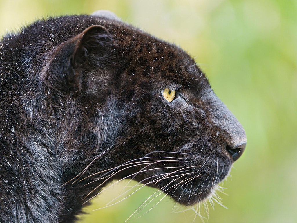 Cat Wallpaper 3d Profile Of A Black Leopard I Really Like This Profile