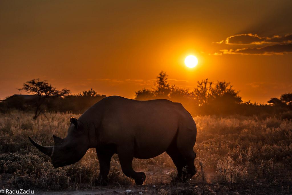 Rhino 3d Wallpaper Rhino At Sunset This Rhino Was Moving Really Fast