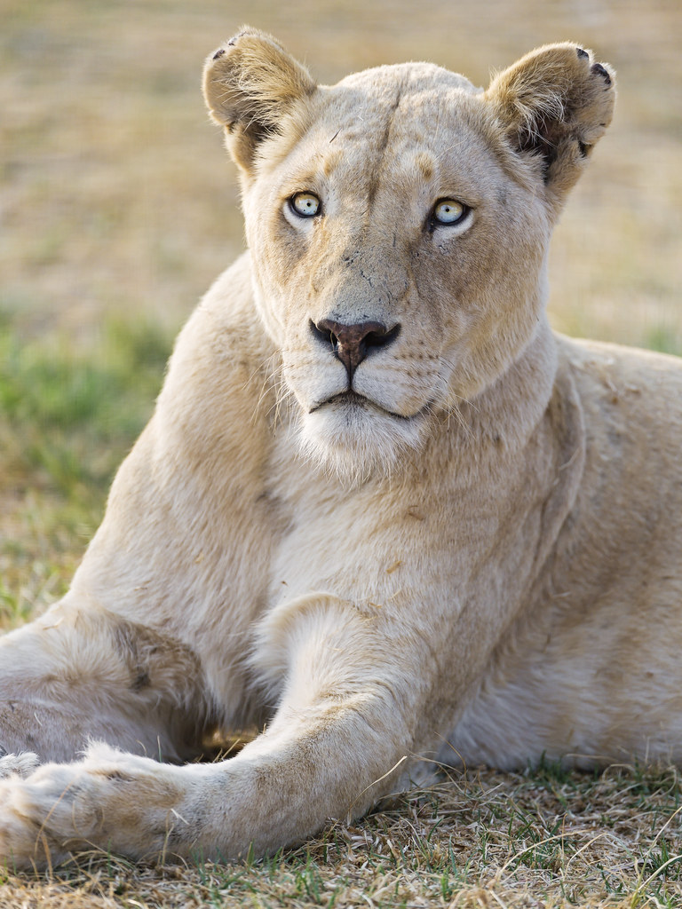 Some 3d Wallpapers Beautiful Lioness Lying I Think This Lioness Is Really