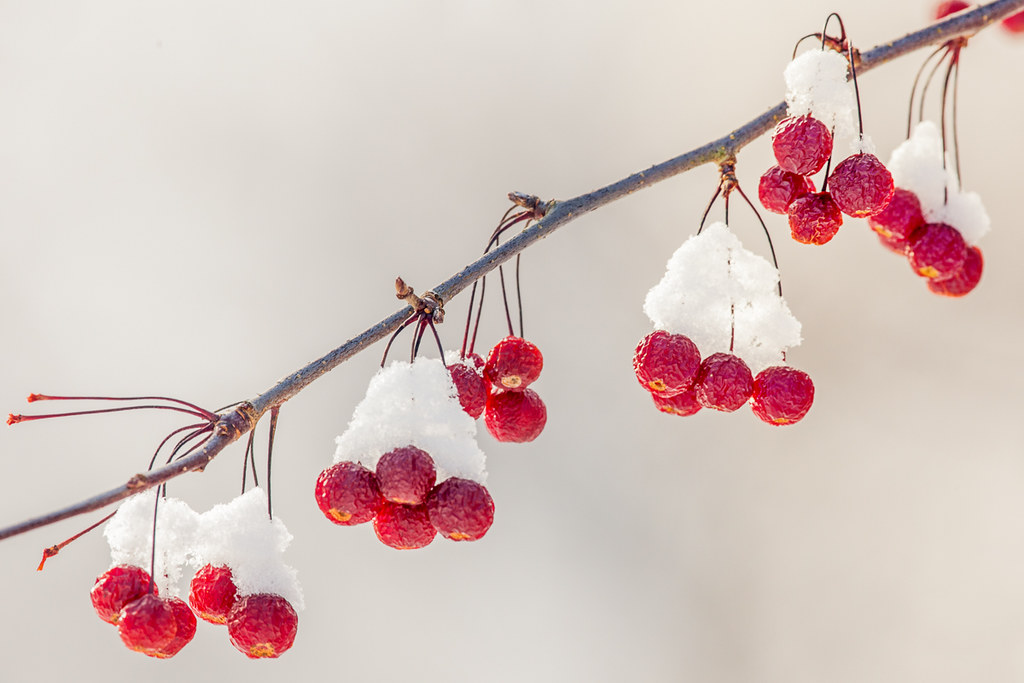 3d Winter Wallpaper Free Winter Berries Barbara Friedman Flickr