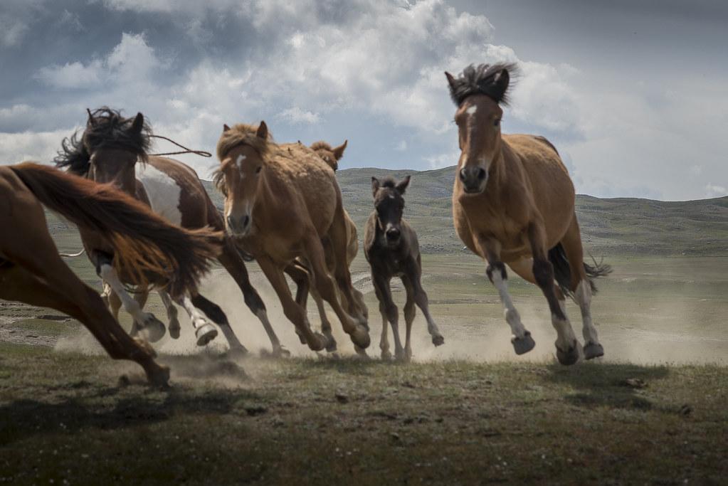 Fall Wallpaper Horses Wild Horses Of Mongolia Wild Horses Stampede In Mongolia