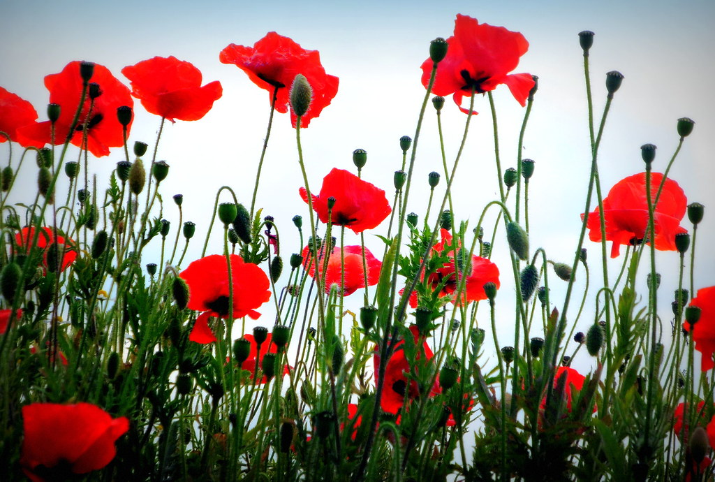 Wallpaper Windows 10 3d Poppies Spotted By The Roadside This Morning Pamela