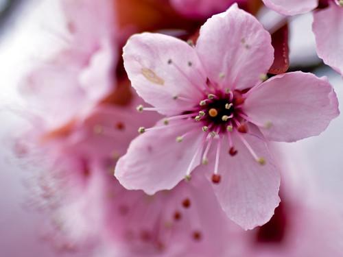 3d Wallpapers Of Flowers For Desktop Cherry Blossom Closeup Mnlamberson Flickr