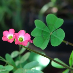 A Four Leaf Clover or Oxalis and Its Flowers Spring Lit Flickr