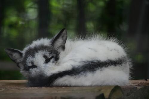 Cute Cat Wallpaper 3d Sleeping Arctic Fox 2 A Sleeping Arctic Fox That Kinda