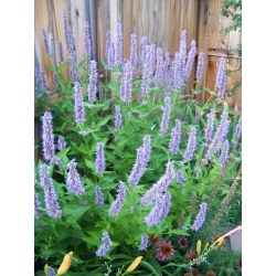 Small Crop Of Agastache Blue Fortune