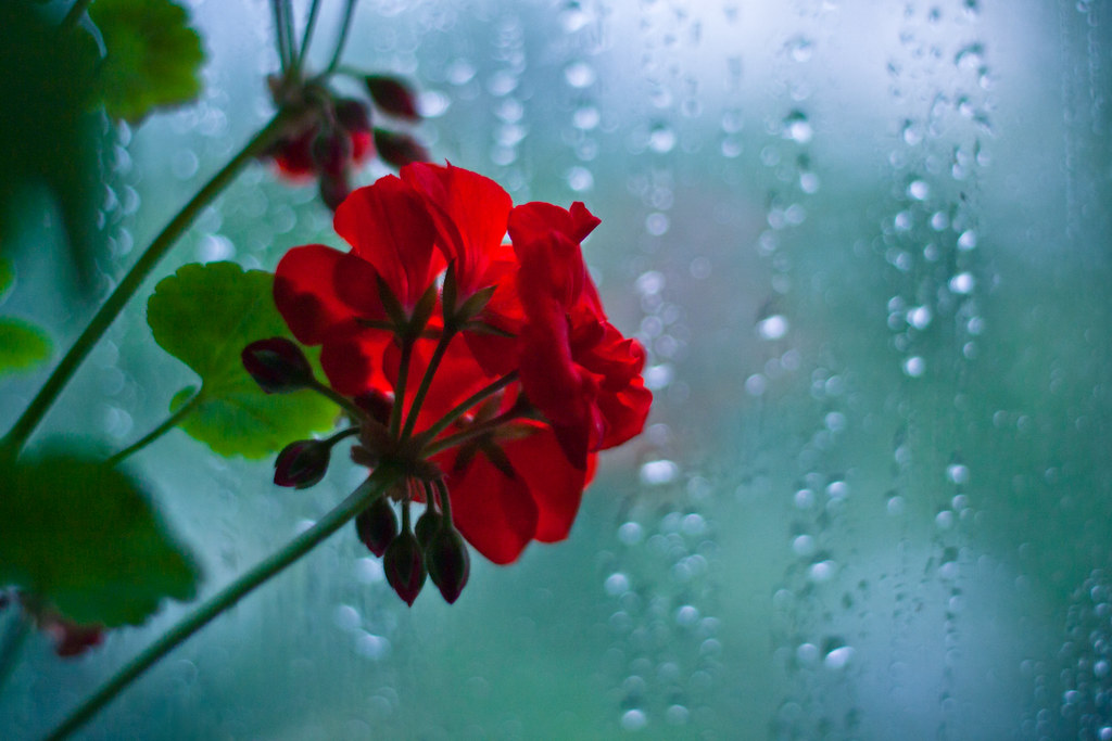 Free 3d Flower Wallpaper Flower At A Rainy Window Vladimir Agafonkin Flickr