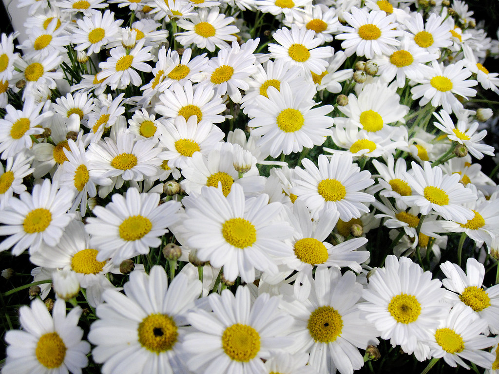 3d Flower Wallpaper For Pc White Daisies If You Want To Be Happy Set A Goal That