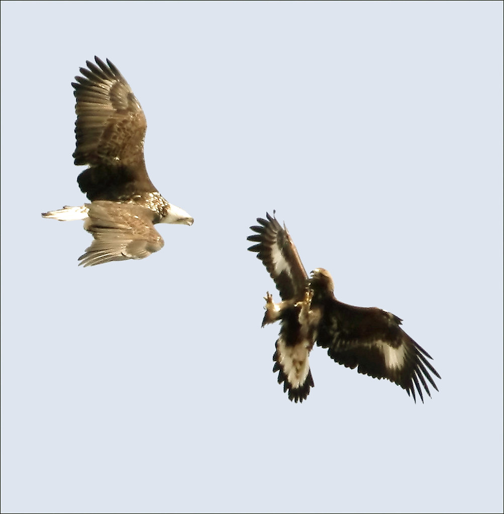 Fullsize Of Eagle Vs Hawk