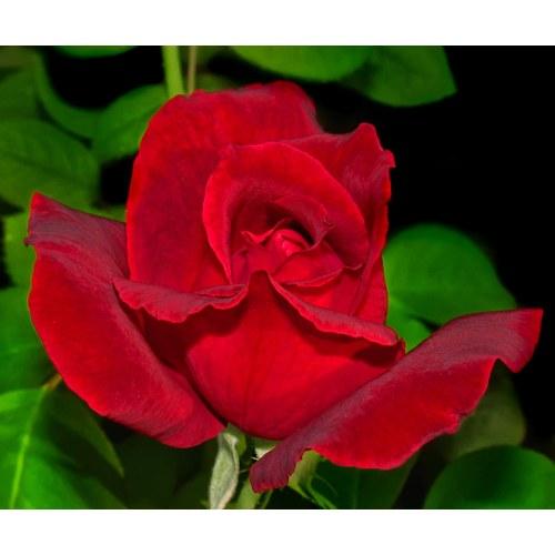 Medium Crop Of Mr Lincoln Rose