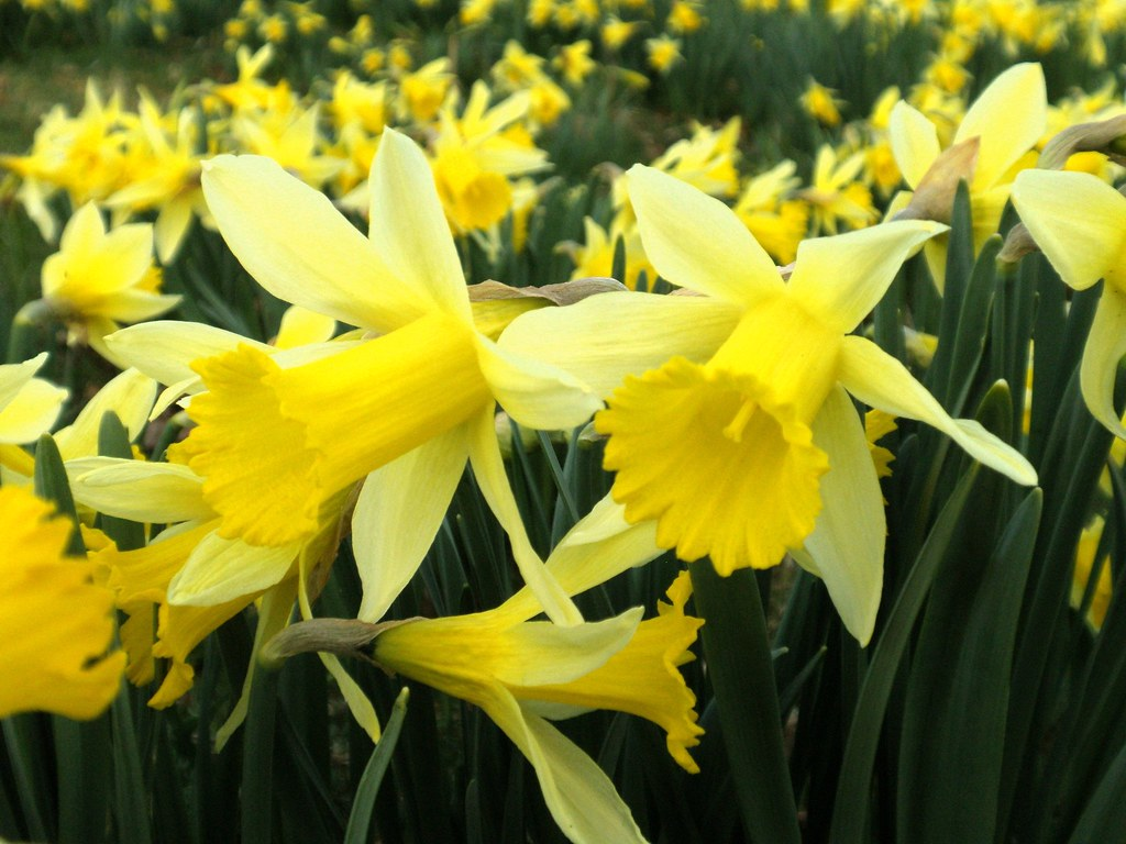 Free 3d Spring Wallpaper Wild Daffodils Harvest Hill Nature Reserve Allesley