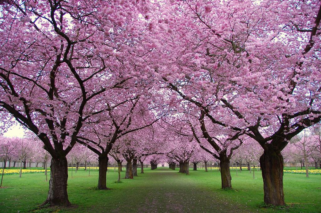 3d Cherry Blossom Wallpaper Fr 252 Hling In Schwetzingen Spring Finally Arrived In