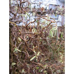 Small Crop Of Harry Lauders Walking Stick