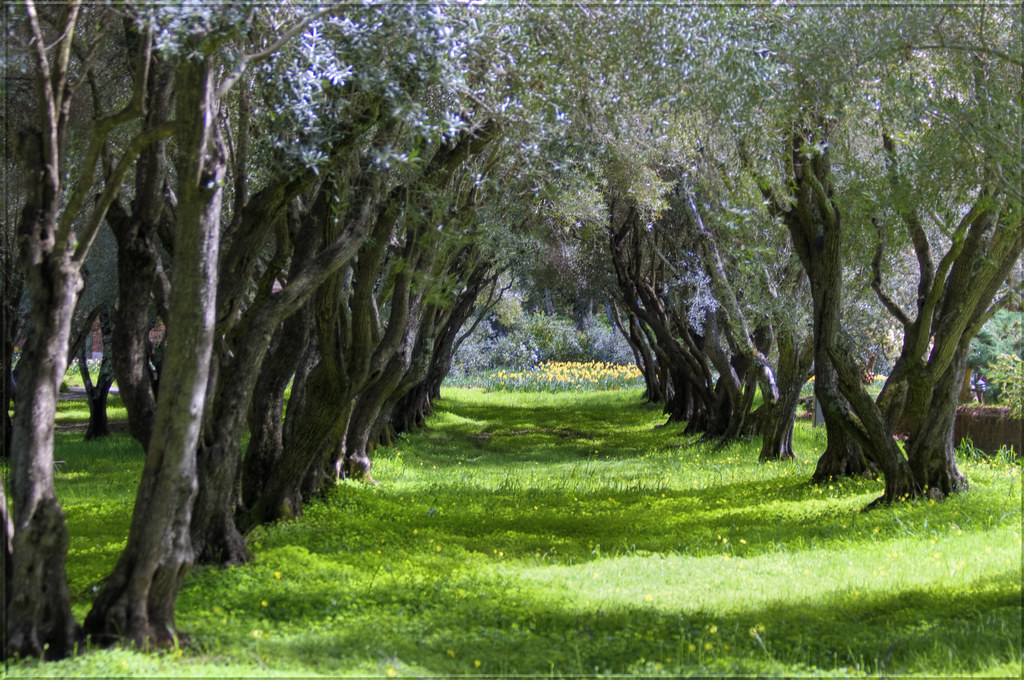 Black And Mustard Wallpaper Olive Grove In March I Think I Ve Photographed The Olive
