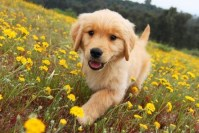 Image For Golden Meadows Retrievers Golden Retriever Puppies