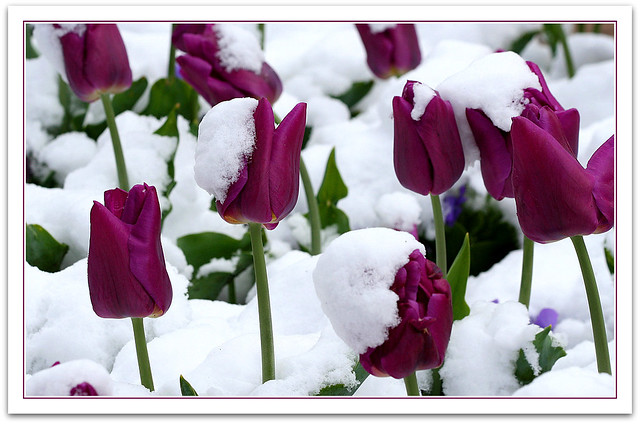3d Winter Wallpaper Free Tulips In The Snow Tulips In The Snow On The First Day