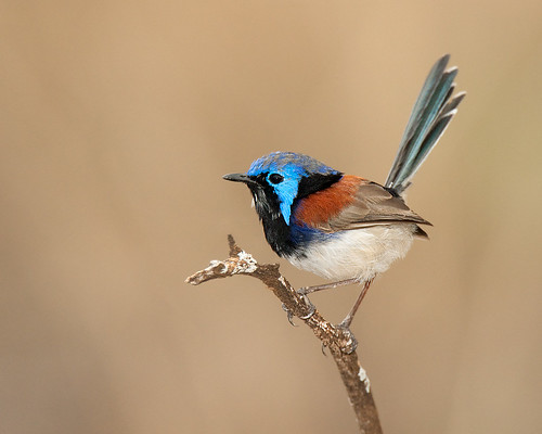 Animals And Birds Wallpaper Variegated Fairy Wren Another High Iso Low Shutter