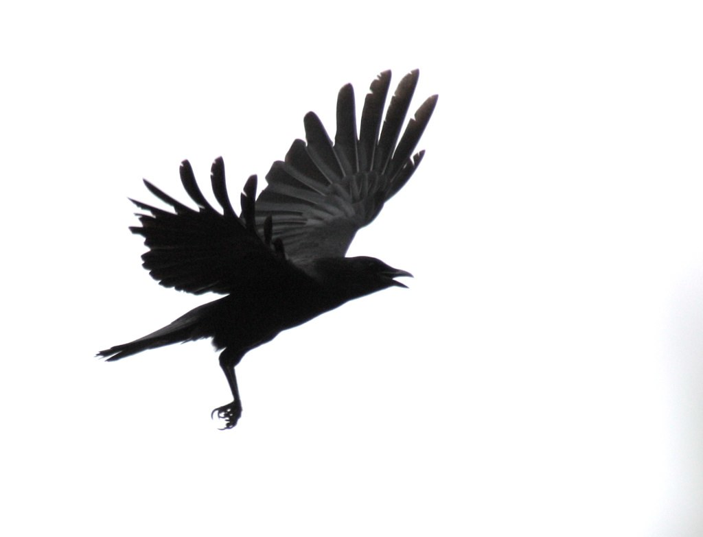Free Animated Fall Wallpaper Crow In Flight Yep He S Flying All Right Devra Flickr