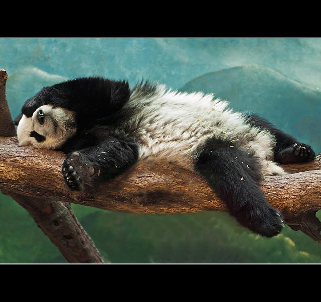 Tiger Animal Wallpaper Crouching Tiger Sleeping Panda The Sequel Alternate