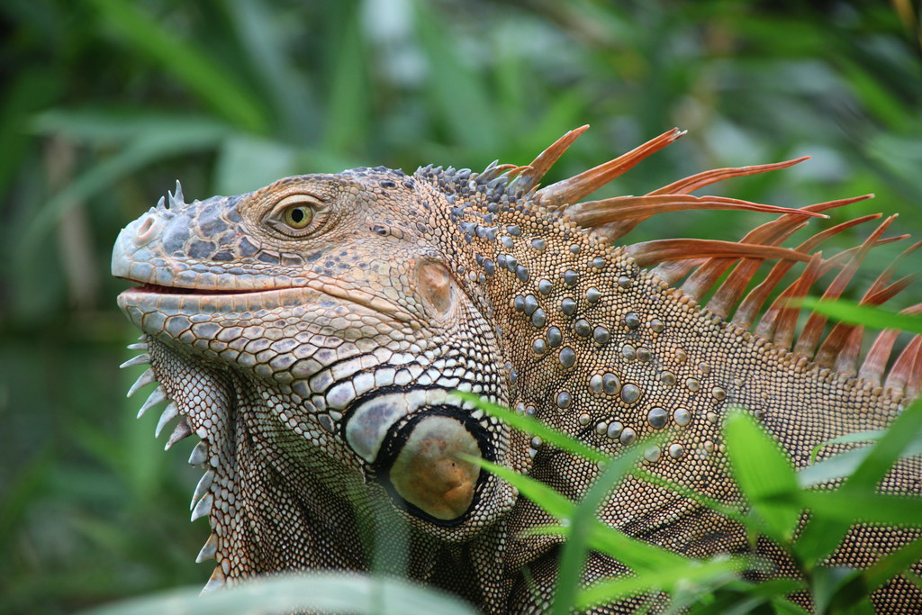 Animal Wallpaper Full Hd Very Horny The Green Iguana Males Are Normally Green