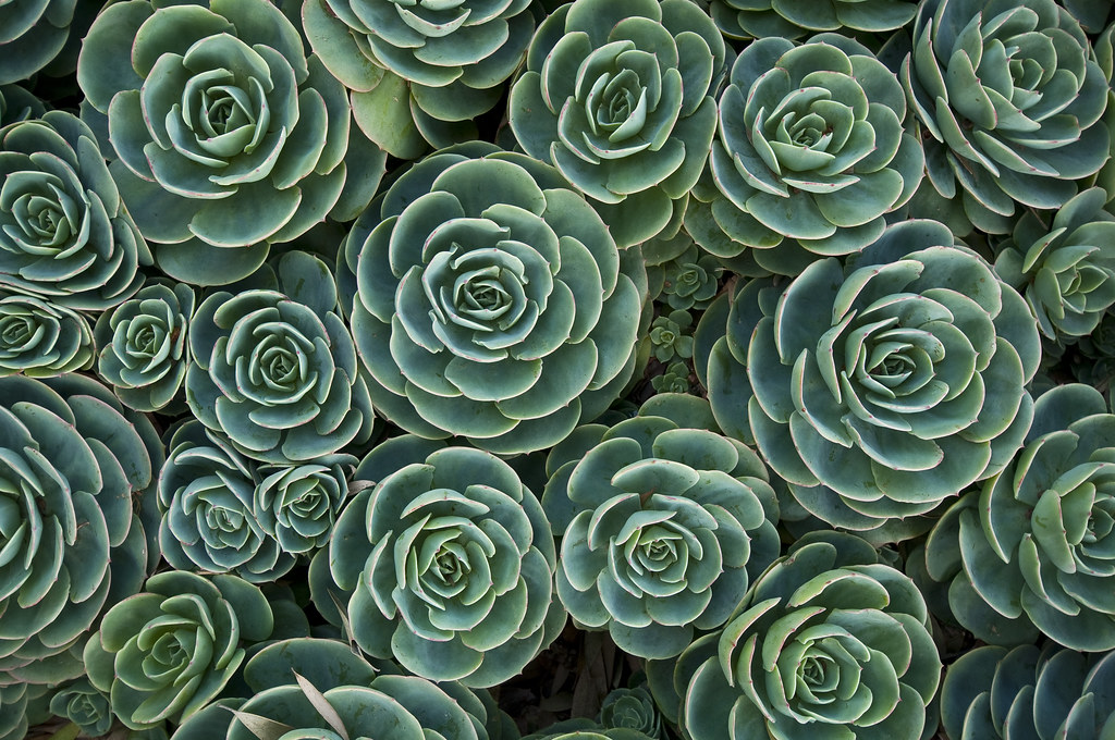 Hd Photos 3d Wallpaper Green Succulents Lots Of Blue Green Forms Being Repeated