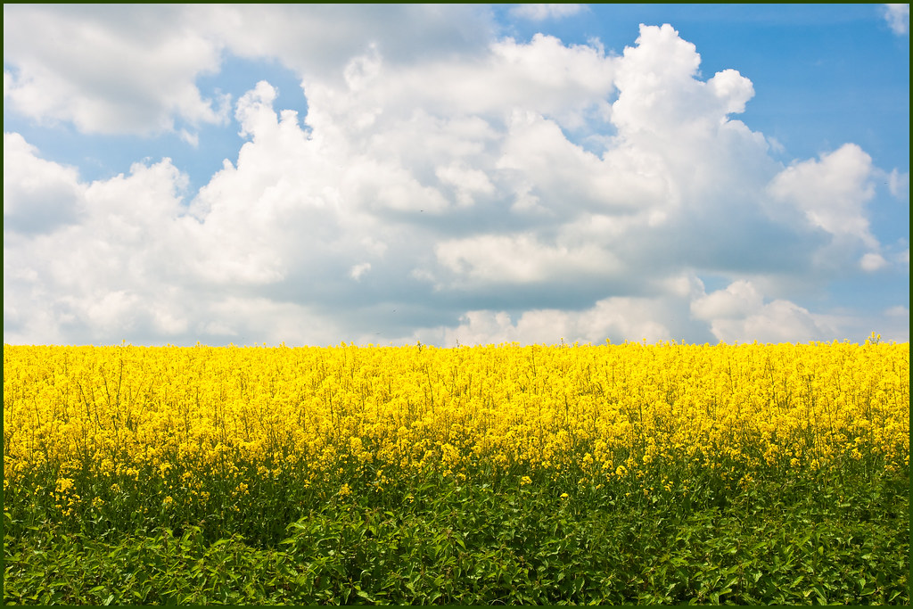 Who\u0027s afraid of green, yellow, white  blue Rapefield near\u2026 Flickr