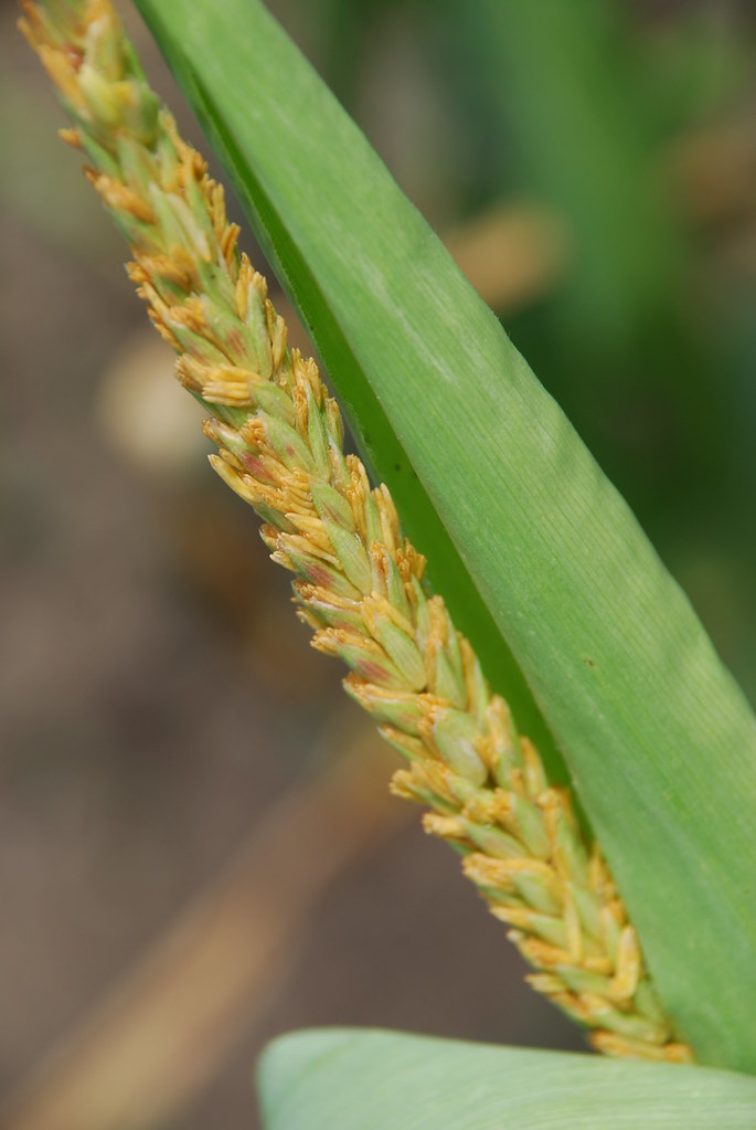 2 7 Maize Tassel With Anthers Emerging | Part Of A Male Maize