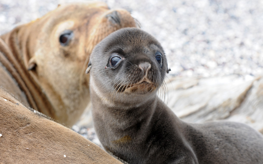 Free Hd Cute Baby Wallpaper Baby Sea Lion Zpics Flickr