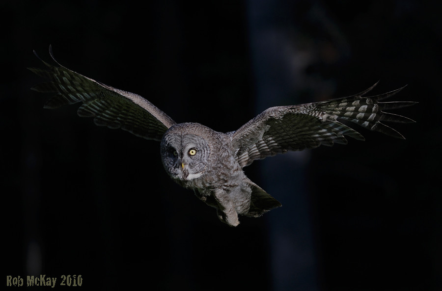 Rog Animated Wallpaper Great Gray Owl Flying Into The Light Out Of The Forest