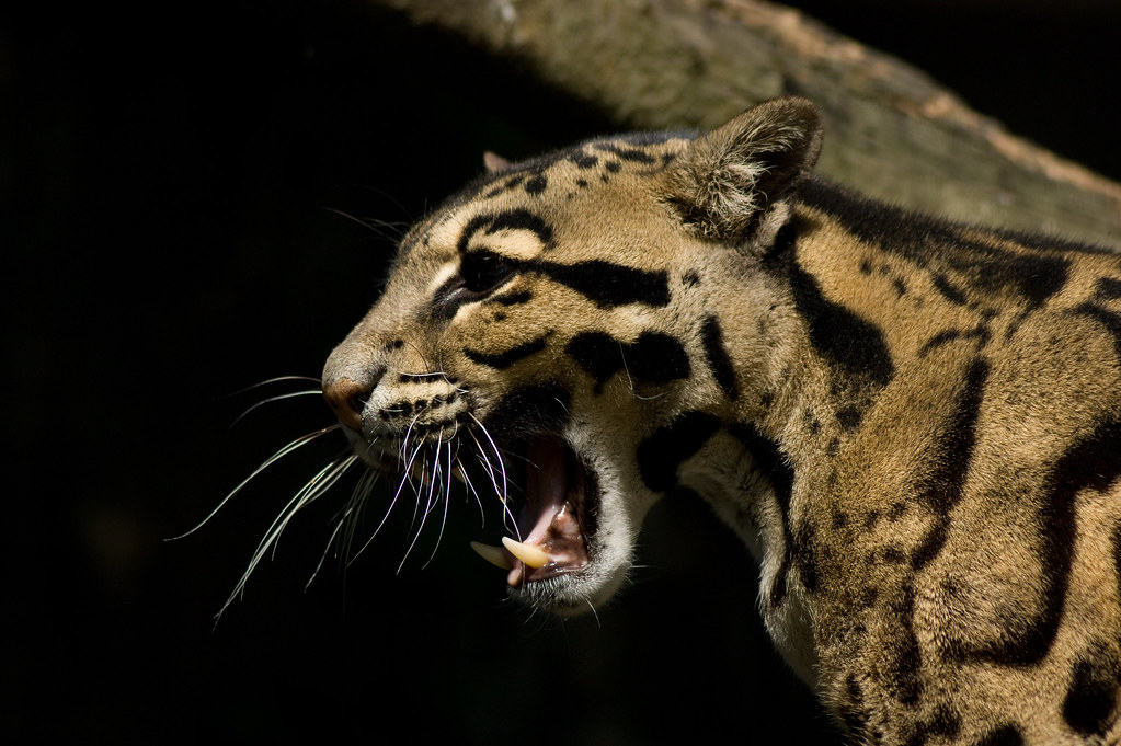 Free 3d Hd Wallpapers For Mobile Clouded Leopard Neofelis Nebulosa Santago Many Thanks