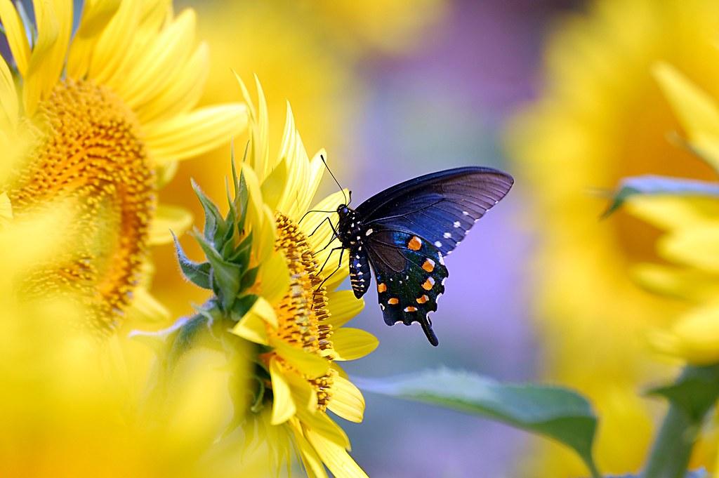 3d Sunflower Wallpaper Pipevine Swallowtail Butterfly On Sunflower Desktop Wallpa