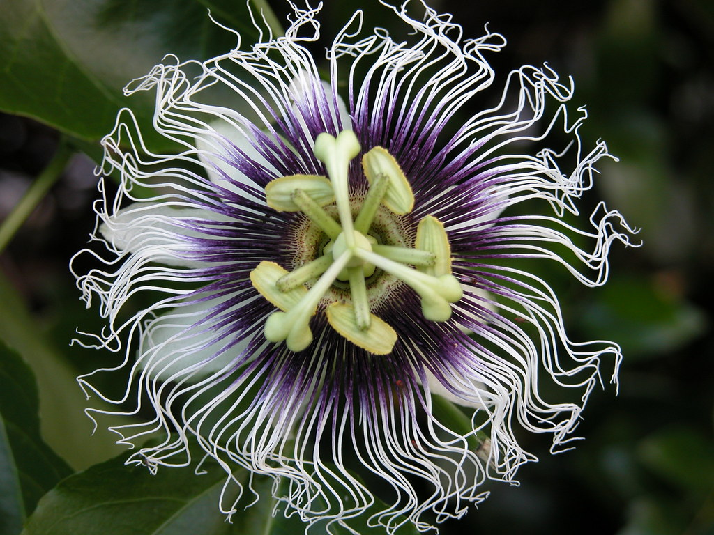 Passiflora Edulis Passionflower 18 Passiflora Edulis 1 This Is The