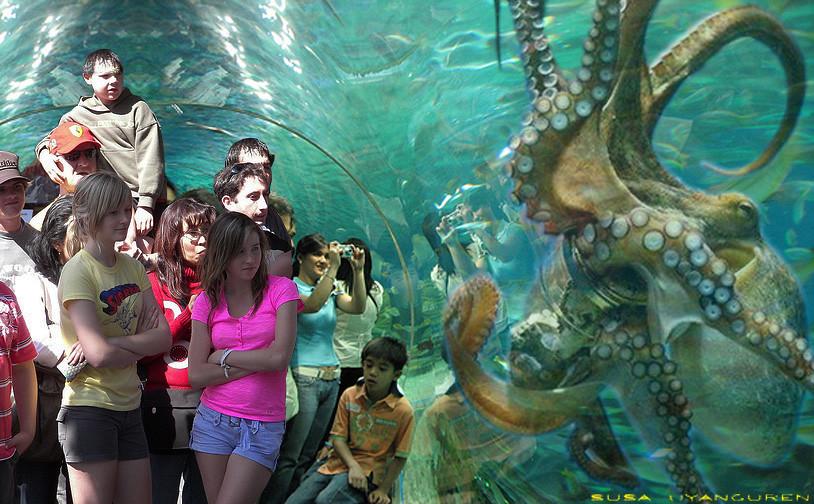 Animal Planet Wallpaper Giant Octopus Susa Uyanguren Octopus Giant Octopus