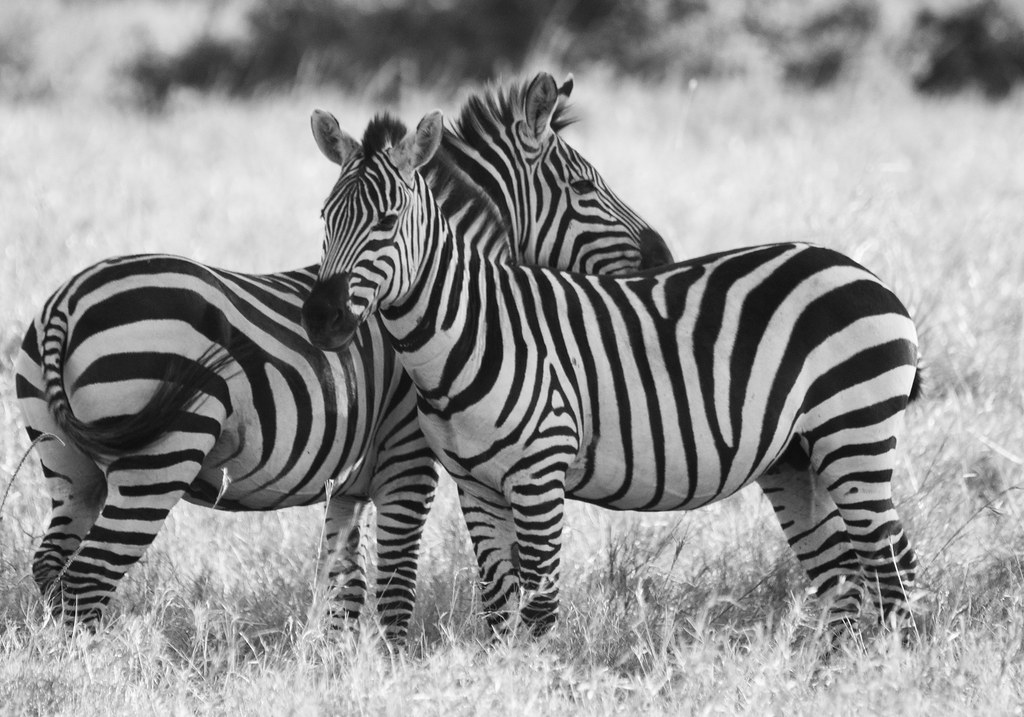 Black Pattern Wallpaper Zebra Line County Council Of Transmara Mara Conservancy