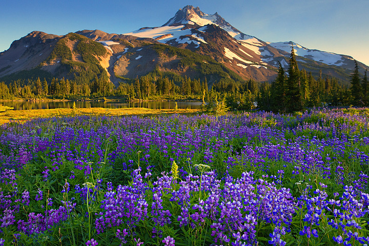 3d Wallpaper Lavender Jefferson Park Wilderness Lupine This Was Just Another