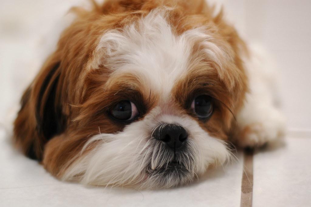 Cute Dog Pictures For Wallpaper Isabel The Shih Tzu Russ Sanderlin Flickr