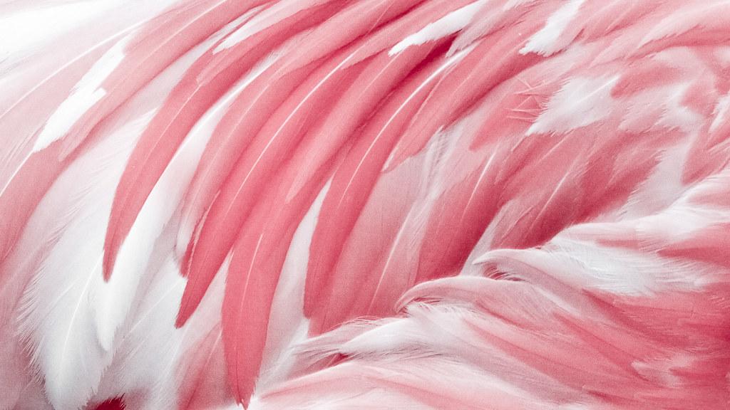 Pink Animal Wallpaper Pink Flamingo Feather 粉色火烈鸟之羽。 Tim Wang Flickr