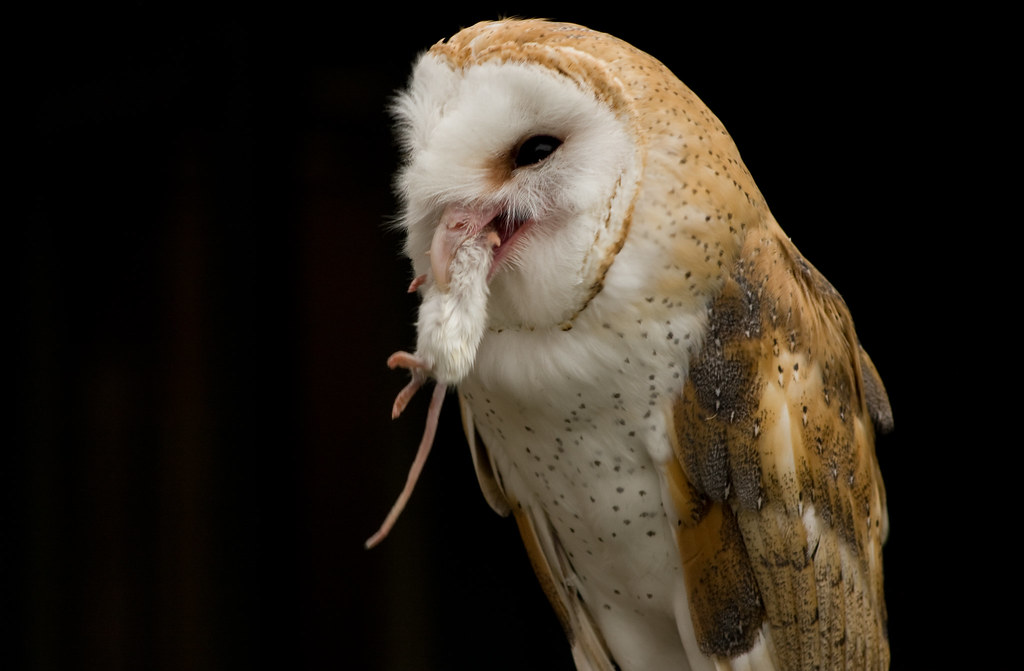 Bad Girl Wallpaper Hd Barn Owl Eating A Small White Mouse 26 08 2010 Not A Bad