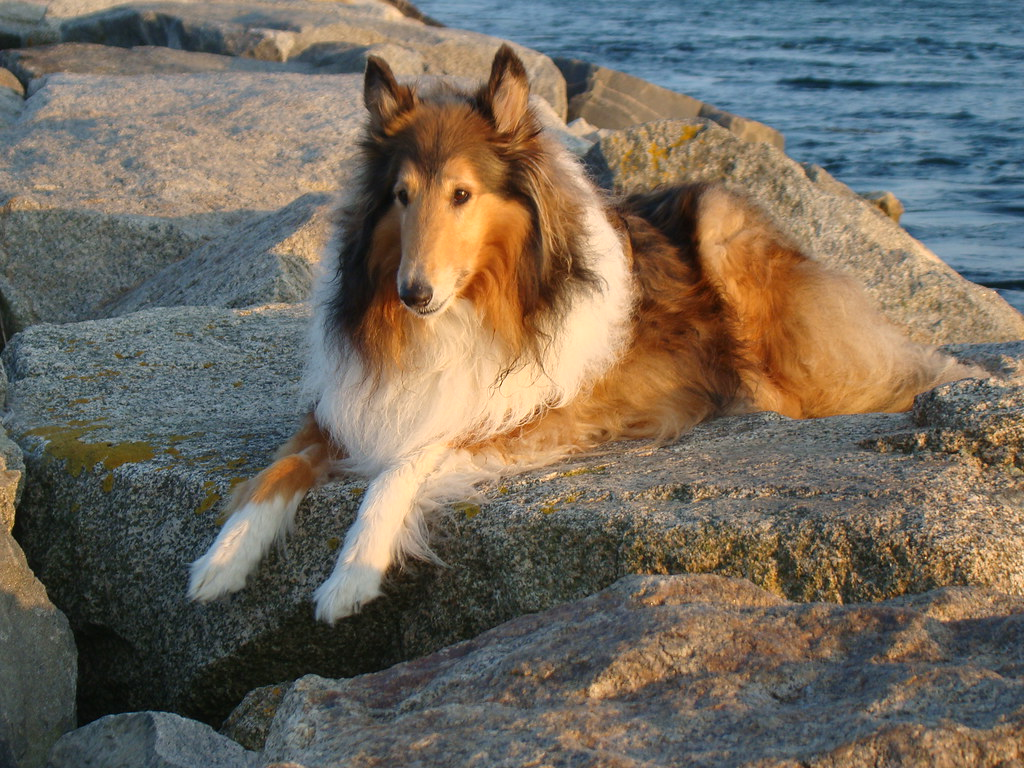 3d Wallpaper Of Dogs My Sweet Baby Kody Rough Collie Sylvia1sam Flickr