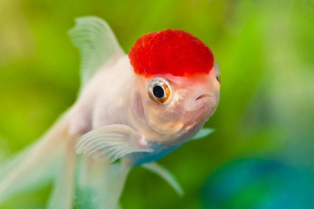Download Koi Fish 3d Wallpaper Dazed Again Dazey The Goldfish Being His Normal Dazed