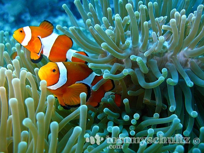 Aquarium 3d Live Wallpaper Pro Clown Fish Family Underwater Photography At Apo Island