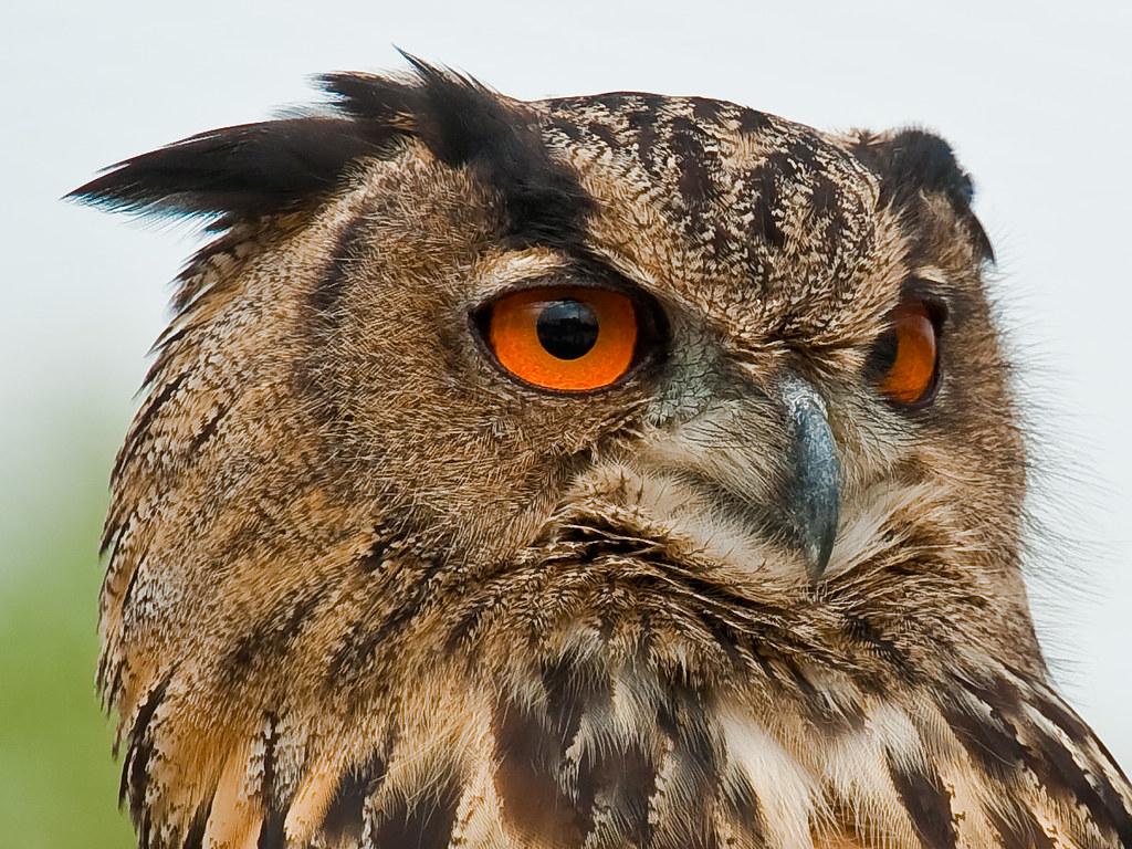 3d Eagle Wallpaper Eurasian Eagle Owl Bubo Bubo Uhu Camargue 2010 Smal