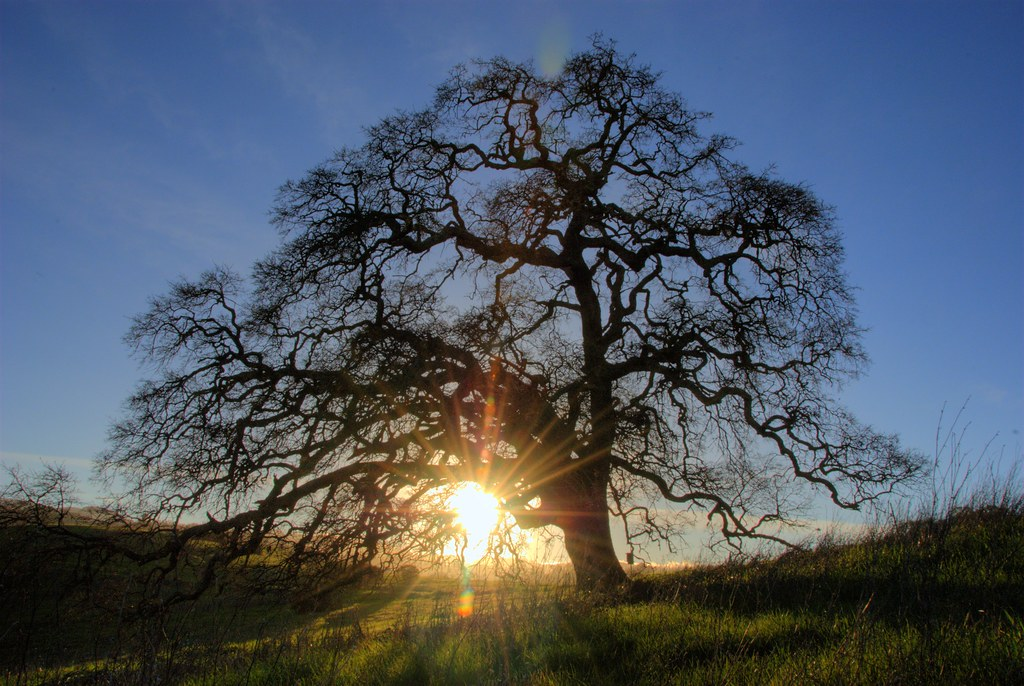 3d Winter Wallpaper Free Sun Burst Oak Tree Oak Tree With Sun Setting Behind It